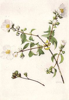 LEWIS' SYRINGA Philadelphus lewisii Pursh                       National Geographic Magazine/Volume 31/Number 6/Our State Flowers/List of Illustrations : Wikis (The Full Wiki)
