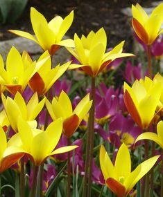 Species Tulips - Tulips - Flower Bulb Index Bulb Flowers, Tulips Flowers, Flying Duck Orchid, Yellow Interior, Unusual Flowers, Nature Pictures, Garden Inspiration, Gardening Tips, Orchids