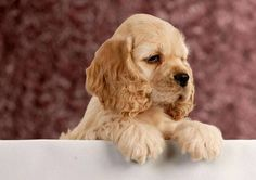 Cute Cocker Spaniel Pictures...find here www.fundogpics.com/cute-cocker-spaniel-pictures.html