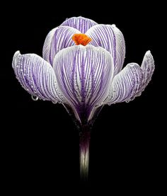Crocus- the first sign of #spring blossoms! #flowers #spring