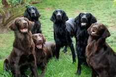Image result for flat coated retriever