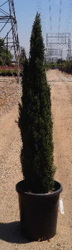 Cupressus sempervirens \'Glauca\' — Warners Nurseries | Conifers ...