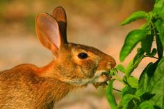 what herbs and flowers to plant to keep deer and rabbits and gophers and mice and other pests out of your garden.