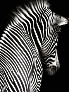 Google Image Result for http://www.walbyent.bizland.com/sitebuildercontent/sitebuilderpictures/zebra_black2.jpg