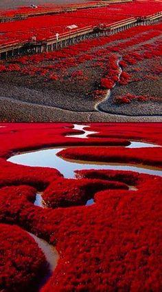 Plage rouge,Panjin,Chine sur les marais du delta:fleuve Liaohe