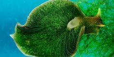 Resultado de imagem para lesmas do mar