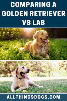 Generally when comparing a Golden Retriever vs Lab, Goldens are more adaptable to a sedentary lifestyle and Labradors have high energy reserves. Read this article to find out what other differences are there.  #goldenretrievervslabrador #goldenretrievervslab #labradorvsgoldenretriever