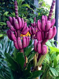 Purple mini bananas