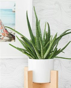We already know#aloevera helps our digestion supporting an essential part of detox. . . . . .  Addingaloe vera to water or smoothies during acleanse is a great way to support good daily bowel movements and keep waste and toxins movingout of your system.  . . . . Tags - #selfcare #selfcaretips #wellness #health #diet #weightloss #healthfood #dietfood #plants #nature #ayurvedic #organic #yoga #mentalhealth #depression #instagood #photography #l4l #f4f #holistic #diy #skincare #wellnesstips…