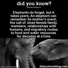did you know? Elephants do forget, but it takes years. An elephant can remember its mother's scent, the call of close female family members, relationships with humans, and migratory routes to food and water resources for decades at a time. Source : http://channel.nationalgeographic.com/articles/war-elephants-facts/
