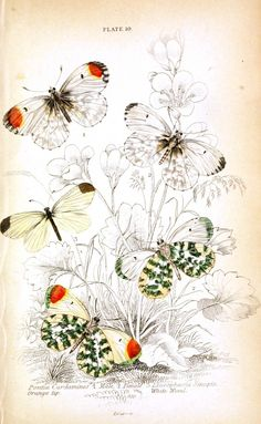 Natural History of British Butterflies, James Duncan, 1840