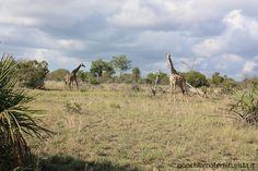 Giraffe al Saadani National Park.
