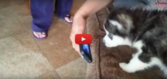[VIDEO] Husky Einstein Puppy Howling While Watching Youtube