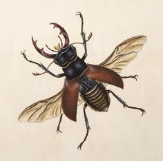 """thejeweledotter: """" Stag Beetle by Edward Donovan """""""