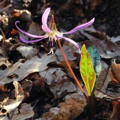 Dente di Cane (#Erythronium dens-canis) foto di vadoevedo