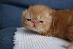 Dwarf Persian Cats | The Cat Fancier's Association All Breed Cat Show, April 9th & 10th In ...