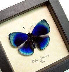 Real Framed Butterfly Glowing Blue Callithea Optima Shadowbox Display 819d in Butterflies & Moths | eBay