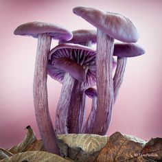 Western Purple Laccaria ~ By Don Paulson