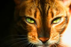 Toyger face close up. Wow just amazing how beautiful they are.
