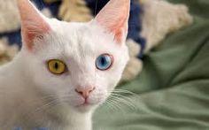 van kedisi ile ilgili görsel sonucu