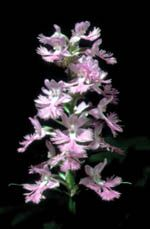 Canadian Native Orchids - Platanthera grandiflora, Large purple fringed-orchid