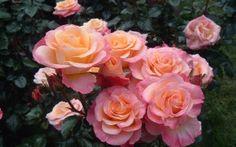 Preview wallpaper roses, loose, shrub, herbs, garden