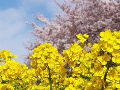 Rape blossoms & Cherry blossoms