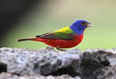 Painted Bunting...My Painted Bunting bird is back!!!