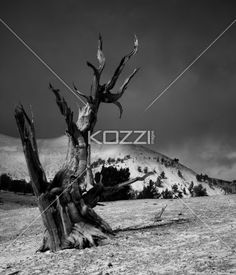 dead tree field - A dead tree stands alone in a black and white photo.