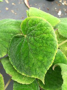 Begonia 'Al Clark'
