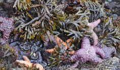 Tide-pool studies on Brady's Beach. Tide Pools, Vancouver Island, Beach, Plants, Animals, Animales, The Beach, Animaux, Flora