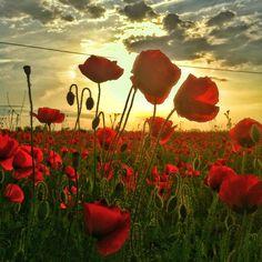 Poppies sunrise