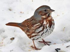 Fox Sparrow© Gary Tyson, Tioga County, Pennsylvania, March 2011, http://www.flickr.com/photos/garyt48/5559500612/