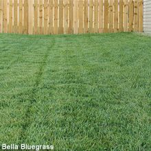 Waterwise, Low Mow Turf Grasses from High Country Gardens http://www.highcountrygardens.com/buffalo_grass_plugs: 'Legacy' Buffalo Grass, 'Prestige' Buffalo Grass, 'UC Verde' Buffalo Grass, Bella Bluegrass (shown), and 'Hachita' Blue Gamma