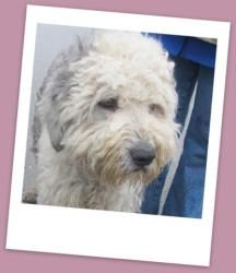 Rockford Rocky-TRAINED! is an adoptable Old English Sheepdog Dog in Coldwater, MI. Rocky entered the prison training program on April 10th for 10 weeks. He is a handsome Sheepdog who is 2 1/2 years...