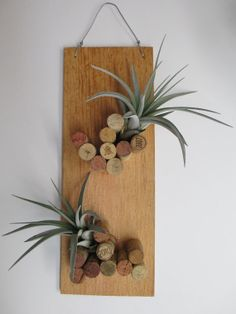 Tillandsia Xerographica Hybrid on Plaque with by CraftOrganic, $30.00