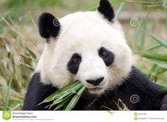 Photo about Giant panda bear eating bamboo at Chengdu, China. Image of bamboo, face, research - 38787980 Funny Animal Videos, Funny Animals, Cute Animals, Chengdu, Beautiful Cats, Animals Beautiful, Panda Habitat, Wildlife Conservation Society, Panda Wallpapers