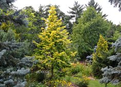 Garden Canadensis » Ornamental Conifers