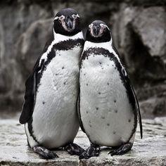 immagini pinguini veri - Cerca con Google