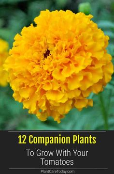 Some people believe in tomato companion plants and others think it is some old wives tale. Growing friendly plants together is said to... DETAILS Tomato Companion Plants, Companion Planting, Starting A Vegetable Garden, Vegetable Gardening, Kinds Of Vegetables, Grow Tomatoes, Urban Homesteading, Organic Gardening Tips, Garden Spaces