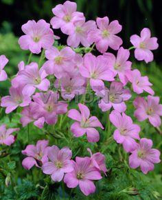Geranium endressii 'Wargrave pink'