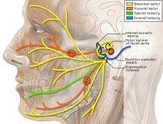 Orofacial Pain and Its Causes Dental Assisting Study Guides… Dental Assistant Study, Dental Hygiene School, Dental Life, Dental Health, Dental Hygienist, Oral Health, Facial Nerve Anatomy, Cranial Nerve 7, Parotid Gland
