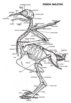14+ best bird and wing anatomy images on Pinterest in 2018 | Wing ...