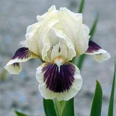 """Dwarf Iris 'Black Cherry Delight' has cream-white standards and dark purple with a white rim on the falls. It grows 11"""" high and makes a nice addition to the sunny border. Iris Flowers, Types Of Flowers, Exotic Flowers, Real Flowers, My Flower, Beautiful Flowers, Cactus Flower, Purple Flowers, Planting Bulbs"""