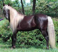 Rocky Mountain Horse | Rocky Mountain/KentuckeyMountain Horse | Pinte ...