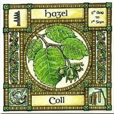 Hazel, Ogham name Coll, rules 5th August to 1st September. Around Connla's well grew the nine Hazel trees which contained all the knowledge of the world. From those trees dropped nine nuts, which imparted this knowledge to the salmon living in the well who ate them. Fionn cooked the salmon for the chief Druid to eat, but burnt his thumb on the cooking fish and sucked it to ease the pain, gaining the wisdom instead of his master.