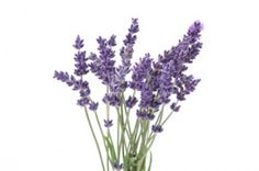 Mosquitoes hate lavender, citronella grass, catnip, basil & lemon scented herbs, pennyroyal (so be sure to crush the leaves to release the scent!!)
