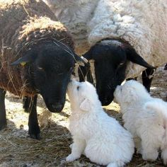 Maremma sheepdog pups giving kisses <3