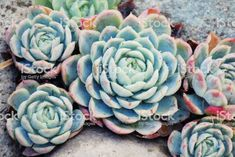 'Hens and Chicks' Succulent royalty-free stock photo Hens And Chicks, Abstract Photos, Planting Succulents, Image Now, Royalty Free Stock Photos, Pastel, Plants, Advertising, Wellness