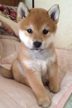 TOO cute for words!!! shiba